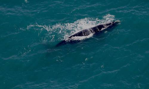 SA Skydiving | Adelaide | Articles | Skydivers enjoy whale watching at Goolwa before their jump